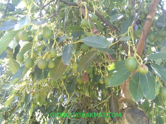 cây giống bơ Gem Hass