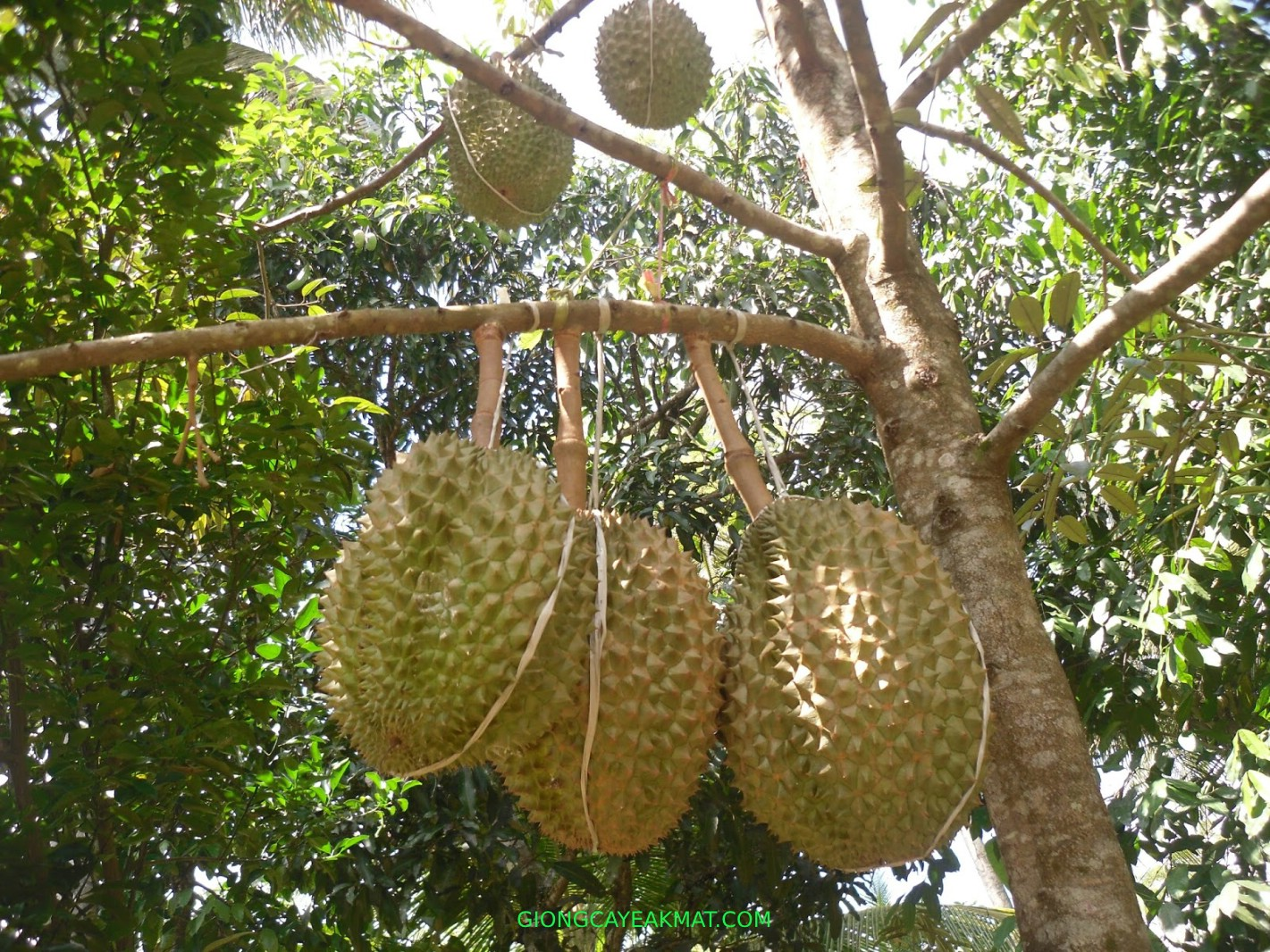 cây giống sầu riêng Dona cơm vàng hạt lép