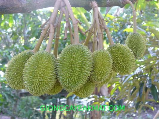 cây sầu riêng Ri6