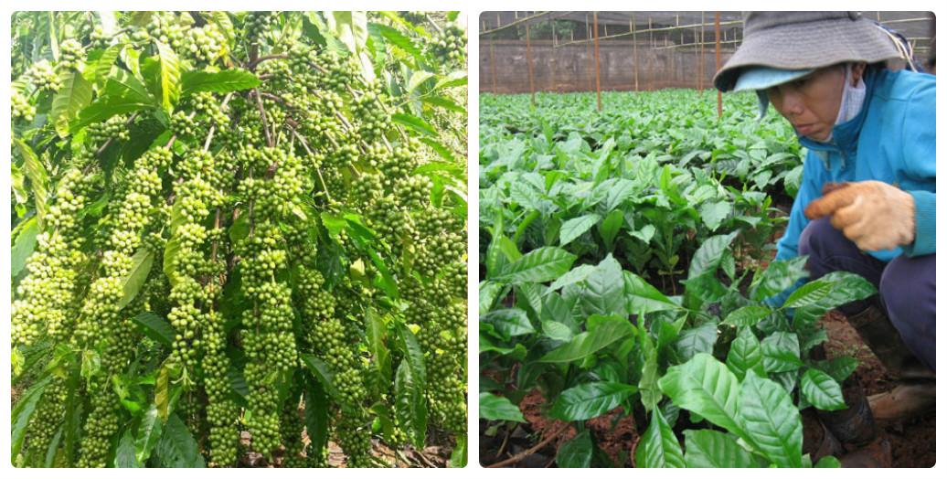 vườn cà phê xanh lùn TS5