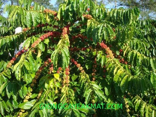 cây giống cà phê Tr9