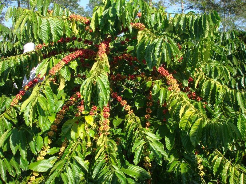 hạt giống cà phê vối Tr4