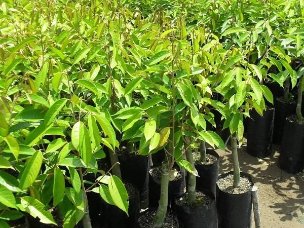 cây giống sầu riêng Dona Thái
