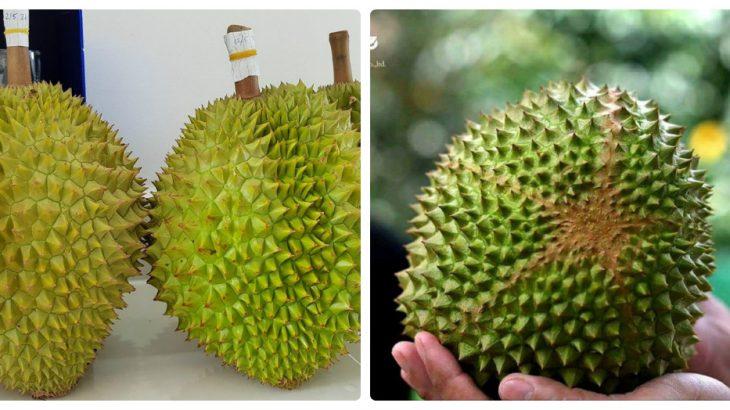 cây giống sầu riêng Musang King