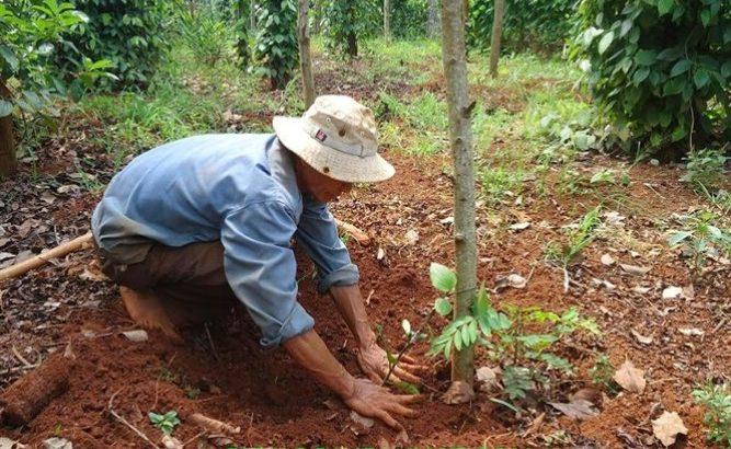 kỹ thuật trồng tiêu