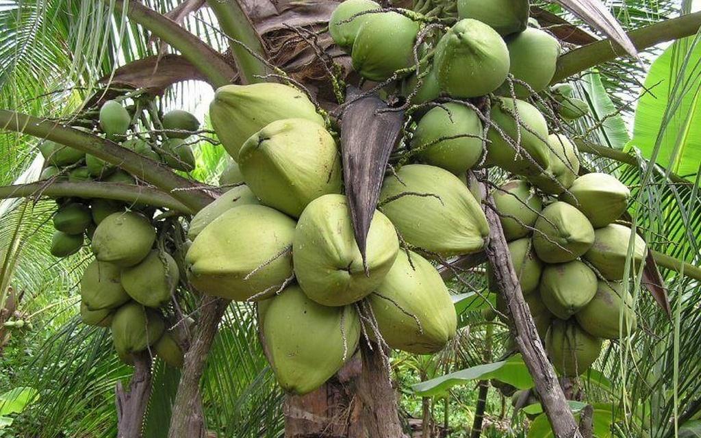 dừa dứa