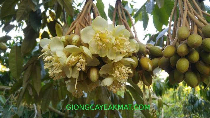 cách chăm sóc cây sầu riêng khi ra hoa