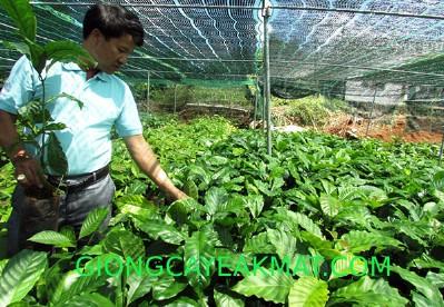 Phương pháp ươm hạt giống cà phê đạt tỷ lệ nảy mầm cao