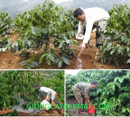 kỹ thuật trồng cây cà phê ở Tây Nguyên