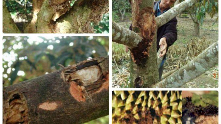 phòng trừ sâu đục thân hại cây sầu riêng hiệu quả