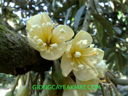 xử lý sầu riêng ra hoa sớm