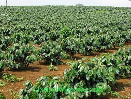 cách chăm sóc cà phê mới trồng