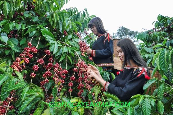 phục hồi cây cafe sau thu hoạch