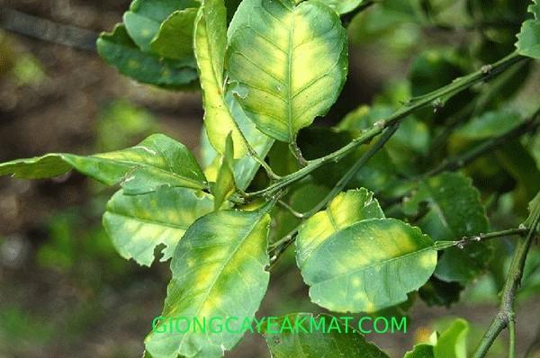 bệnh vàng lá thối rễ