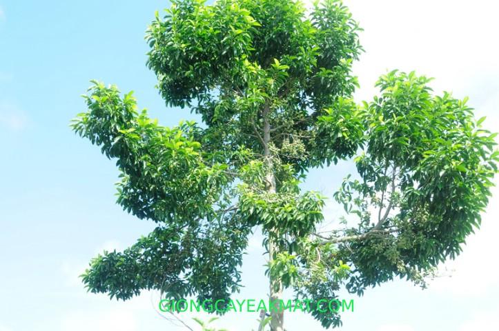 cây Dỗi Xanh