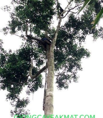 cây giống dỗi xanh
