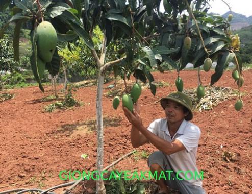 chăm sóc cây xoài Đài Loan
