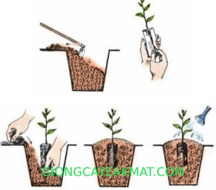 kỹ thuật trồng và chăm sóc cây xưa đỏ