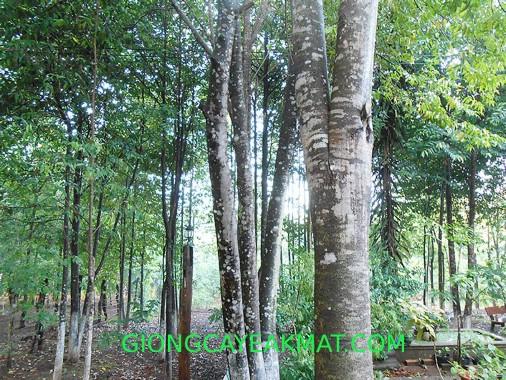 gỗ Đàn Hương Ấn Độ