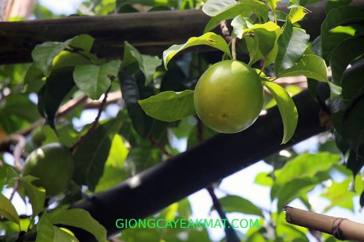 sâu đục trái trên cây vú sữa