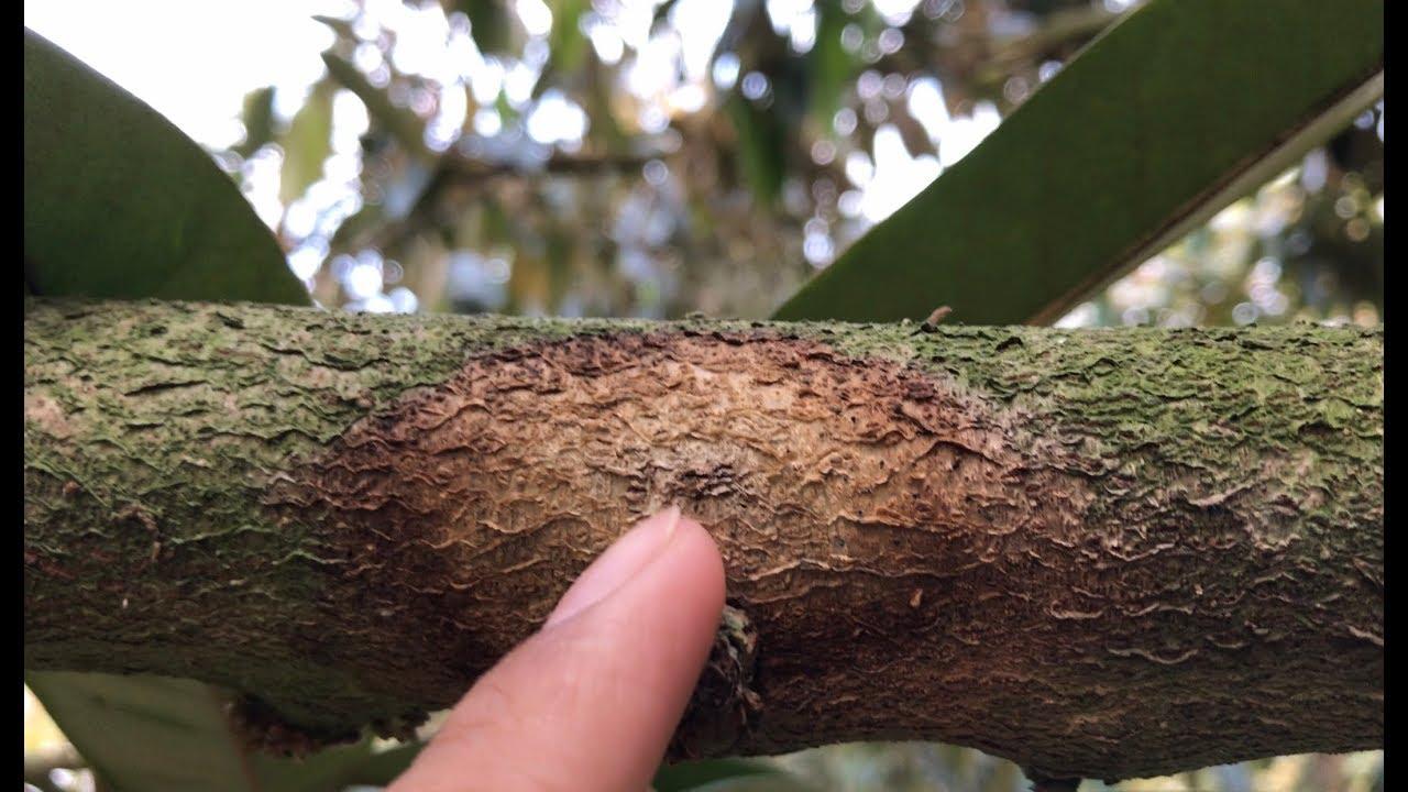 phòng trừ sâu bệnh cây sầu riêng ruột đỏ