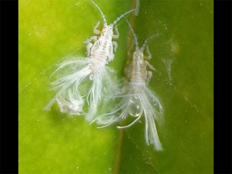 sâu bệnh cây sầu riêng ruột đỏ