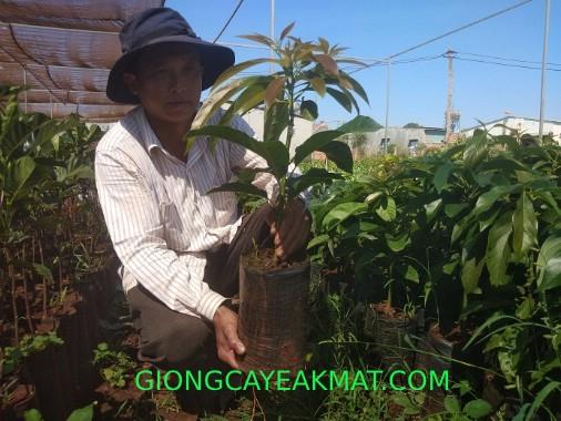trồng bơ Gem Hass