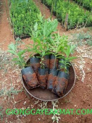 trồng cây đàn hương Ấn Độ