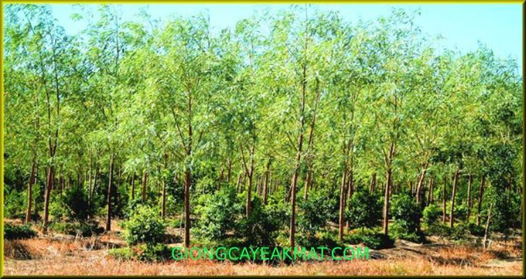 trồng chăm sóc đàn hương Ấn Độ