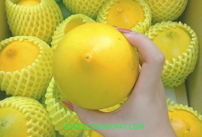 trái vú sữa Hoàng Kim