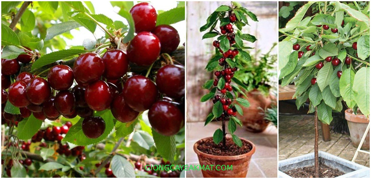 cây Cherry Nam Mỹ Brazil