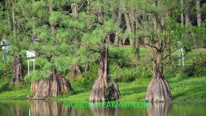 gỗ Thủy Tùng