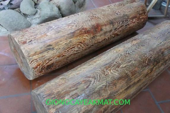 cây gỗ Thủy Tùng